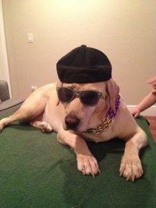 Golden Lab In hat and glasses